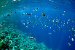 Coral reef and abudefduf fishes at the Red Sea Stock Photos