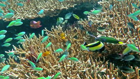Coral reef alive with marine life and shoals of fish stock video