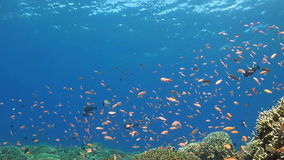 Coral reef with Anthias. Surgeonfish, Grouper and Bannerfish stock video