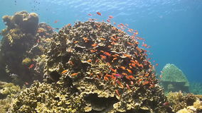 Coral reef with Anthias. Surgeonfish, Grouper and Bannerfish stock footage