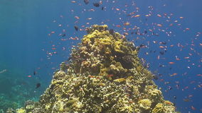 Coral reef with Anthias stock video