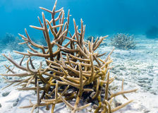 Coral reef. Antler Coral, Staghorn coral, Branching Acropora, Staghorn Acropora royalty free stock images