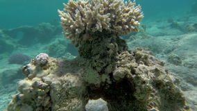 Coral reef as part of beautiful undersea world. Slow motion of moving forward to the coral reef with following close-up view of it. Undesea life stock footage
