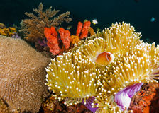 Coral reef at Bali Royalty Free Stock Photo