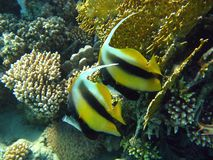 Coral reef with bannerfish Royalty Free Stock Photos