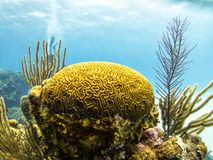 Coral Reef, Belize - Brain Corals variopinto fotografie stock libere da diritti
