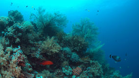 Coral reef with big sea fans Stock Photography