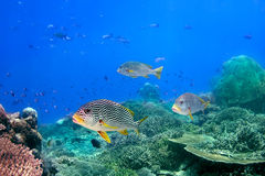 Coral reef and blackspotted sweetlips Stock Image