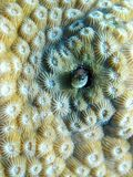 Coral reef blenny fish hiding Royalty Free Stock Images
