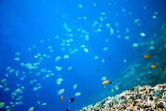 Coral reef and blue abyss with tropical fish. Undersea landscape. Fauna and flora of tropical shore. Coral reef underwater photo. Snorkeling in tropic. Exotic Royalty Free Stock Photo