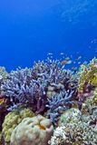 Coral reef with  blue hard corals at the bottom of tropical sea Royalty Free Stock Image