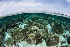 Coral Reef and Blue Sky. A beautiful coral reef grows in shallow, clear water in Wakatobi National Park, Indonesia. This tropical region is known for its Royalty Free Stock Photos