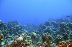 Coral reef and blue water. Reef with colorful varieties of coral and sponges in blue caribbean sea water near roatan honduras Stock Image
