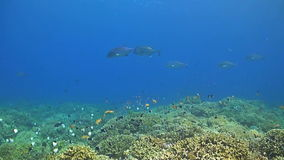 Coral reef with bluefin and giant trevallies stock video