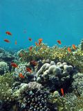 Coral reef on the bottom of red sea Stock Image
