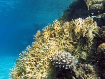 Coral reef at the bottom of tropical sea on blue water background Stock Images