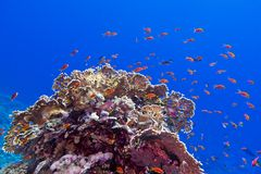 Coral reef at the bottom of tropical sea with exotic fishes anthias and fire coral on blue water background Stock Photo