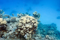 Coral reef on the bottom of tropical sea Royalty Free Stock Photography