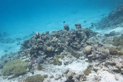 Coral reef at the bottom of tropical sea, underwater Stock Photography