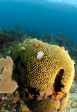 Coral reef brain coral Stock Photo