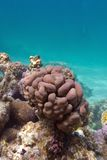Coral reef with brain coral at the bottom of tropical sea Royalty Free Stock Photography