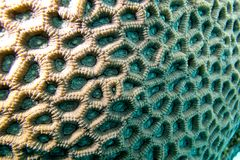 Coral reef with brain coral - closeup Royalty Free Stock Photo
