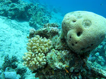 Coral reef with brain coral in tropical sea at great depths, underwater Royalty Free Stock Photography