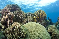 Coral reef brain and lettuce coral Royalty Free Stock Photos