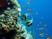 Coral reef with butterflyfish Royalty Free Stock Photography