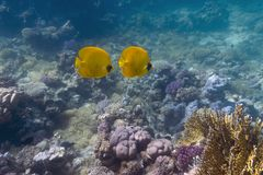 Coral reef with butterflyfishes Royalty Free Stock Images