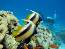 Coral reef, butterflyfishes and diver Royalty Free Stock Photo