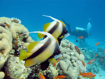 Coral  reef with  butterflyfishes and diver in tropical sea  Stock Image