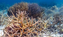Caribbean coral reef antler coral. Coral reef in Carbiiean Sea staghorn coral Acropora cervicornis is a branching, stony coral with cylindrical branches stock photos