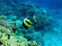 Coral Reef Clear Blue with Banner Fish Stock Image