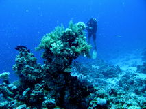 Coral Reef Clear Blue with Diver Royalty Free Stock Image