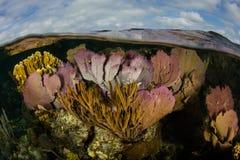 Coral Reef colorée en mer des Caraïbes Photo libre de droits