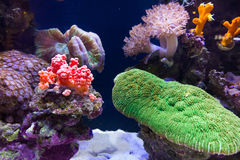 Coral Reef. Colorful coral Reef in aquarium Royalty Free Stock Image