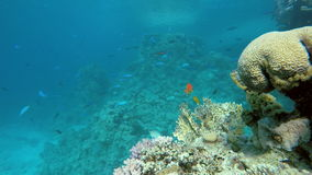 Coral reef. Colorful corals. Coral reef. Exotic fishes. The beauty of the underwater world. Life in the ocean. Diving on a tropical reef. Submarine life. Clear stock video footage