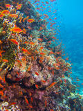 Coral Reef con las porciones de pescados Fotografía de archivo