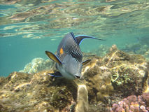 Coral reef and coralfishes Stock Image