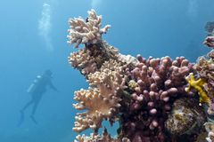 Coral reef with corals and diver Royalty Free Stock Photos