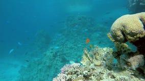 Coral Reef Coraux colorés banque de vidéos