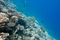 Coral reef with Cornetfish at the bottom of tropical sea, under. Coral reef with hard corals and Cornetfish at the bottom of tropical sea, underwater stock photos