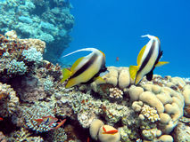 Coral reef with couple of bannerfishes in tropical sea, underwater Stock Images