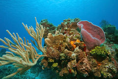Coral Reef - Cozumel. Colorful Coral Reef with a variety of Corals and Sponges in the Gulf of Mexico, Cozumel Royalty Free Stock Images