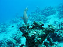 Coral reef in deep water at the bottom of tropical sea, underwater Stock Photography