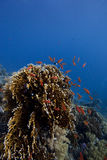 Coral-Reef in deep water with fishes around Stock Photography