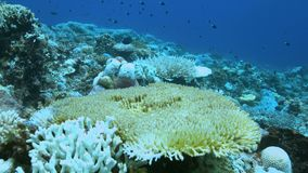 When a coral reef dies. Coral bleaching on Apo Reef, Philippines May 2016 stock video footage