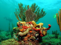 Coral Reef with Diver Stock Images