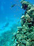 Coral reef with diver Royalty Free Stock Images
